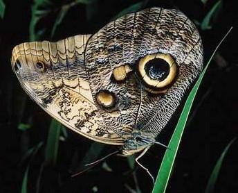 """至于""""蛇头蝶"""""""