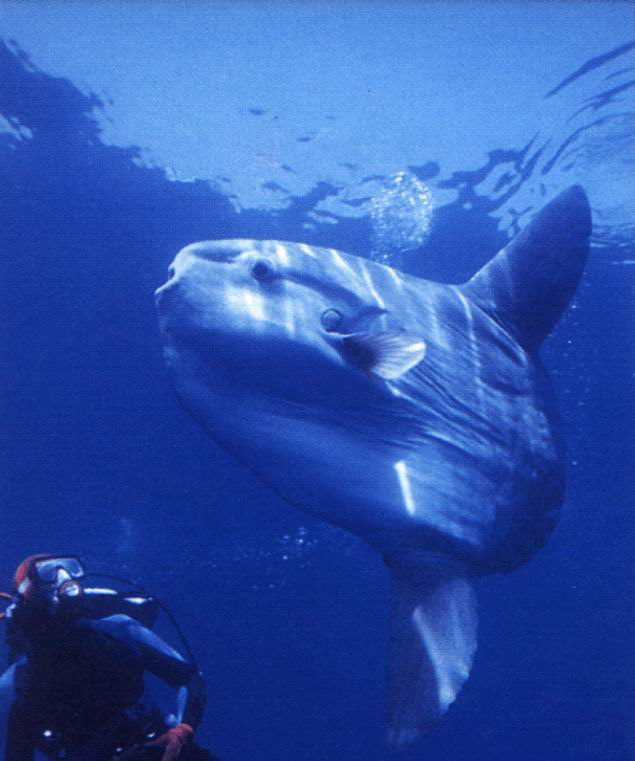 翻车鱼这种头重脚轻的体型很适宜潜水,它常常潜到深海捕捉深海鱼虾为