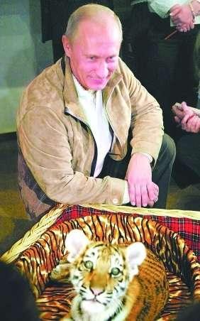 躺在柳条筐和虎皮花纹摇篮里的小老虎像只大猫般柔弱可爱,普京则蹲在